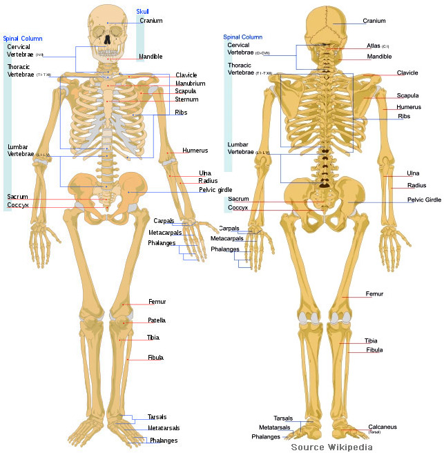 representation of the Skeletal System showing the main bones of the human body