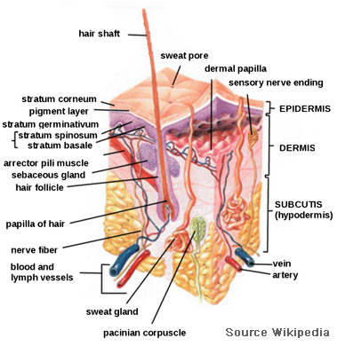 Integumentary System Description Your Guide To Healthy Living