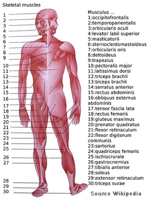 Muscular System Description | Your Guide to Healthy Living!