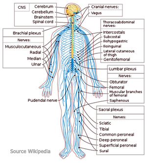 Diagram of the Nervous System shows the main nerves within the human body